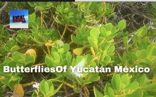 Butterfiles of Yucatán